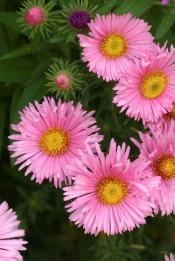 Hoa sao nhái hồng (Cúc thạch thảo hồng)